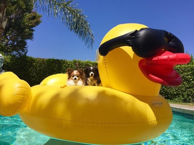 Dog on an inflatable duck